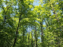 Green trees in gartineau park. Sunny day Stock Photography