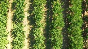 Green Trees Growing  In Rows In Standard Orchard stock video footage