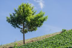Green Trees on the hillside farm near Strawberry Stock Photography