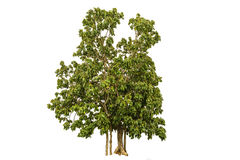 Green Trees isolated. The green trees isolated white background Royalty Free Stock Images