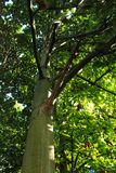 Green trees in leafy forest.  Royalty Free Stock Image