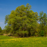 Green trees on a meadow Royalty Free Stock Images