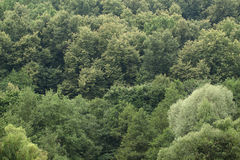 Green trees. Green mixed forest big trees in the middle lane Stock Photo
