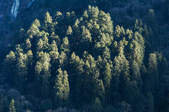 Green trees on the mountain with sunlight in the morning at Lachen in North Sikkim, India Stock Photography