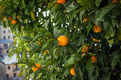 Green trees with oranges at Riomaggiore town, Cinque Terre, Italy.  stock photo