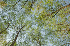 Green trees photographed from bellow. Against the blue sky royalty free stock photography