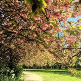 Green Trees With Pink Flowers Near River Royalty Free Stock Images