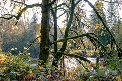 Glowing tree moss in fall. Green trees and plants with bright sunlight shining through them above a bright reflective river Royalty Free Stock Photo