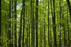 Green Trees Rising. Trees rising in a forest, with deep green leaves Stock Photos