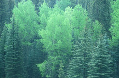 Green trees in Santa Fe National Forest, NM Royalty Free Stock Photos