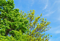 Green trees in spring background Royalty Free Stock Photos