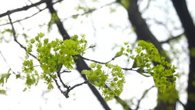 Green trees spring. Flowers on the Branches green tree stock footage