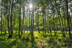 Green trees with sunrays. Green trees in russian forest with backlight sun Stock Photos