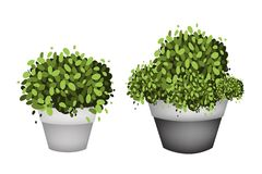 Green Trees in Terracotta Flower Pots on White Background Stock Photos