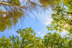 The green trees top in forest, blue sky and sun beams shining through leaves Stock Photos