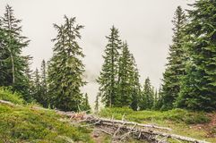 Green trees in the fog. Green trees on the top of the mountain, covered in fog Royalty Free Stock Photos