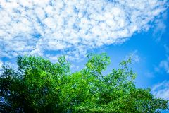 Green trees top with sky. Green Leaves  under Cloud and blue sky.The trees in forest Thailand Stock Image