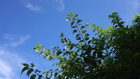 Green trees under the blue sky at Halla National Park in Jeju, Korea.  stock footage