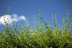 Green trees under blue sky. Stock Photography