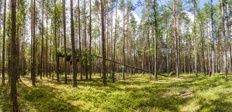 Green trees and vegetation in beautiful forest, naliboki. Forest, belarus stock photography