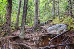 Green trees with visible roots. Forest tree with visible roots spread in the foreground, Grands-Jardins National Park, Quebec stock photos