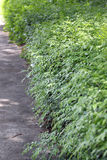 Green trees of wall. Stock Image