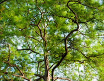 Green treetop Royalty Free Stock Image