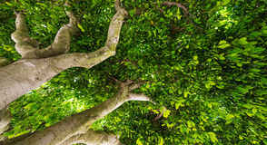 Green treetop Royalty Free Stock Photo
