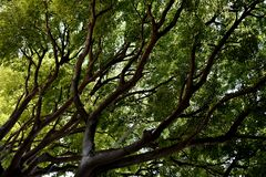 Green treetop with diagonal branches royalty free stock image