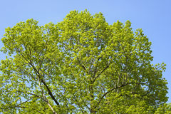 Green treetop Royalty Free Stock Photography