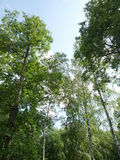 Green treetops. With blue sky in summer Royalty Free Stock Images