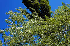 Green treetops. On the wind, against blue sky Stock Images