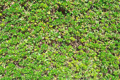 Green trimmed bush. Stock Images