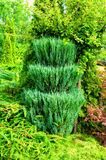 Green trimmed coniferous tree of Thuja - Arbor vitae. Thuja is an evergreen coniferous tree. Green trimmed coniferous tree of Thuja - Arbor vitae. Thuja is an royalty free stock photography