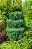 Green trimmed coniferous tree of Thuja - Arbor vitae. Thuja is an evergreen coniferous tree. Thuja tree in the garden Royalty Free Stock Photography