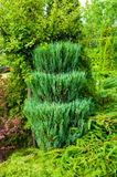 Green trimmed coniferous tree of Thuja - Arbor vitae. Thuja is an evergreen coniferous tree. Green trimmed coniferous tree of Thuja - in Latin Arbor vitae royalty free stock images