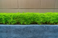 Green trimmed plant Royalty Free Stock Image