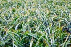Green triticale field Stock Photo