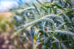 Free Green `Triticale` Wheat Ears Royalty Free Stock Photos - 101198188
