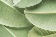 Green tropical background. With palm ficus elastica leaves stock photography
