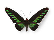 Green tropical butterfly with shadow Stock Photo
