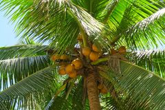 Green tropical coconut palm tree with orange coconuts. Green tropical coconut palm tree with big orange coconuts Royalty Free Stock Image