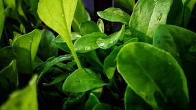 Green tropical farm spinach fresh stock image
