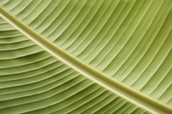 Green Tropical Leaf Stock Image