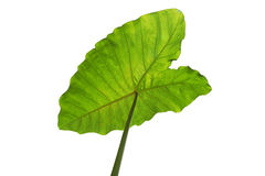 Green tropical leaf background - Giant Upright Elephant Ear close-up Stock Photography