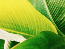 Green tropical leaf close up royalty free stock image