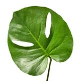Green tropical leaf. Of Monstera isolated on whiyte background Stock Images