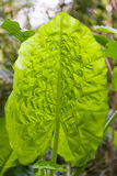 Green tropical leaf. Green leaf of a tropical plant in a garden in Hong Kong Stock Photography