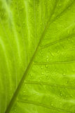 Green tropical leaf with raindrops Stock Photos