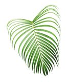 Green tropical leaf of yellow palm isolated on white background. With clipping path royalty free stock photos
